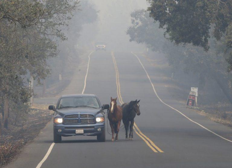 2017年10月10日,Pepe Tamaya和两匹马从加州纳帕的大火中撤离。这两匹马周日被从牧场放出,但因为火势太大,没能被装进撤离的拖车。当Tamaya回到牧场,发现房子已经被烧毁,而两匹马还在房子前面的草坪。(图片来源:AP Photo/Rich Pedroncelli)