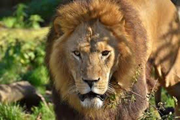 肯亞發現史前巨獅 重1.5噸 大過北極熊