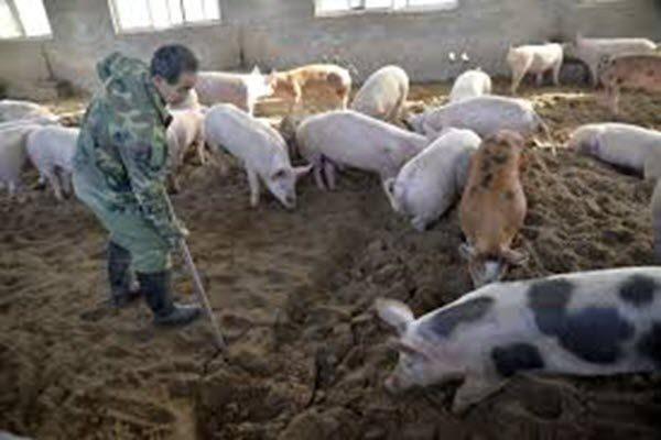 中共隐瞒非洲猪瘟疫情 被疑另有目的
