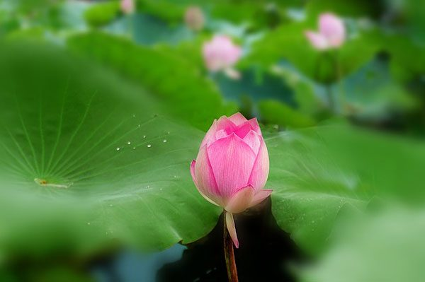 荷花 lotus (资料图片:pixabay)