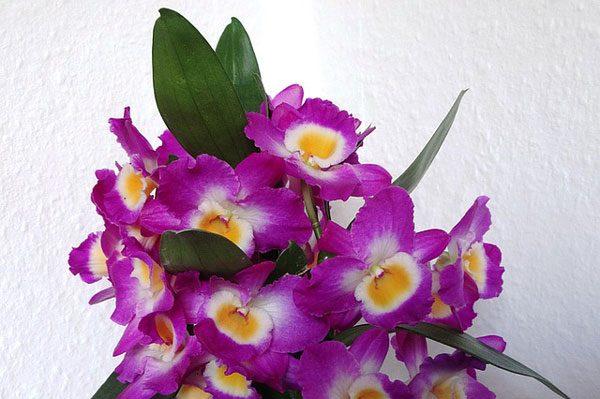 石斛 flowers (资料图片:pixabay)
