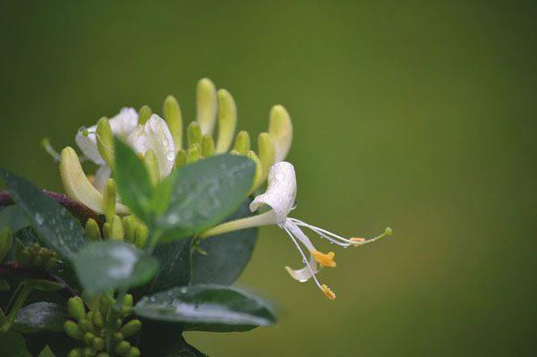 金银花 flowers (资料图片:pixabay)
