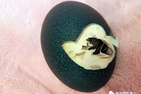 她在网上买了个鸸鹋蛋,在家里孵了47天,还居然真蛋孵出来了!