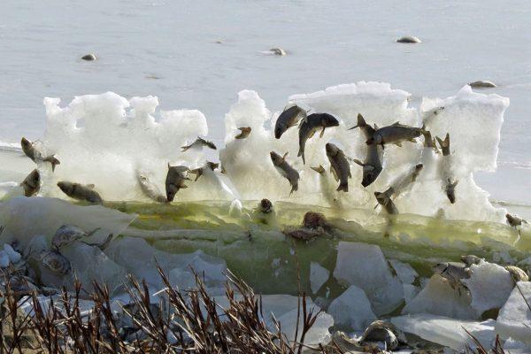 """绝!被冰封在""""空中""""的湖鱼"""