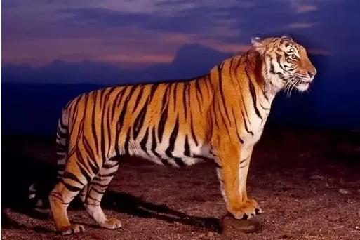 吃人老虎的临终遗言