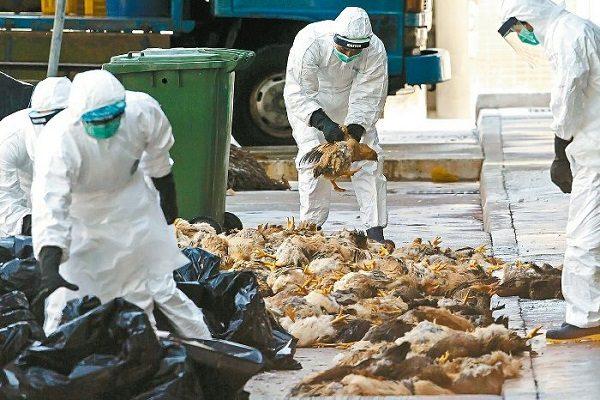 H7N9正在传播死亡率惊人 两会维稳中共掩盖真相