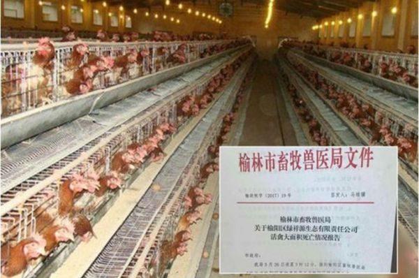 陕西禽流感疫情肆虐 榆林市几万只鸡死亡