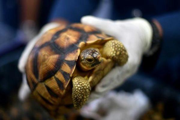 马国破获330只活生走私陆龟 价值近30万