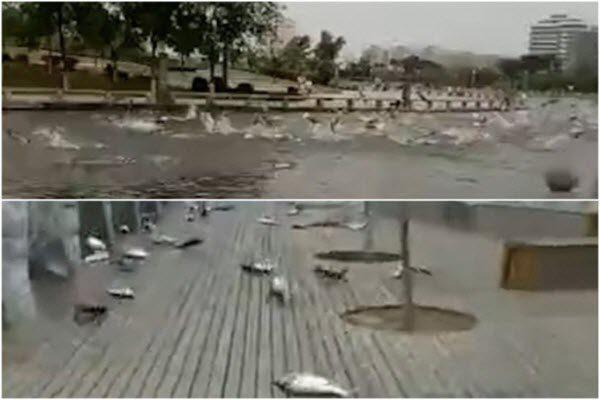 异象又一桩!河南大量鲢鱼跳出水面集体自杀