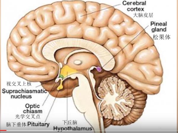 大脑截面图