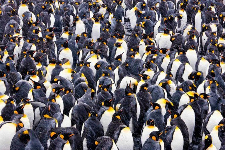 摄影师Paul Nicklen镜头下数不清的企鹅在岸上。(图片来源:美国国家地理)