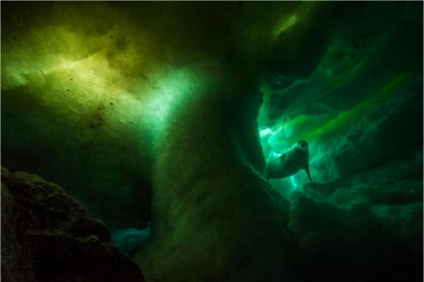 世界上最靠南的哺乳动物威德尔海豹正在冰下游泳。这些海豹停留在海岸附近,透过浮冰上的孔洞呼吸着冰面上的空气。( 网络图片)