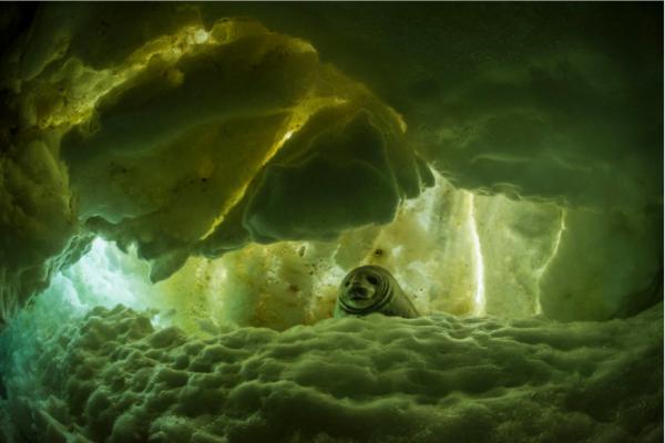 这只小威德尔海豹坐在冰缝上,成年后大约有3米长,重达半吨。( 网络图片)