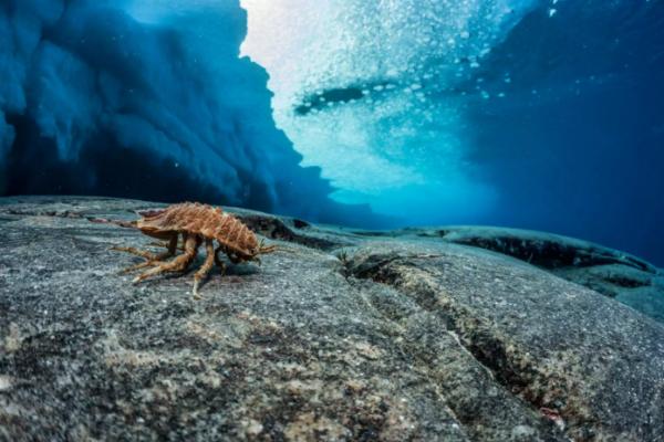 这个等足类动物看起来像个球潮虫,受到威胁时身体会卷起来,它的体长超过10厘米。( 网络图片)
