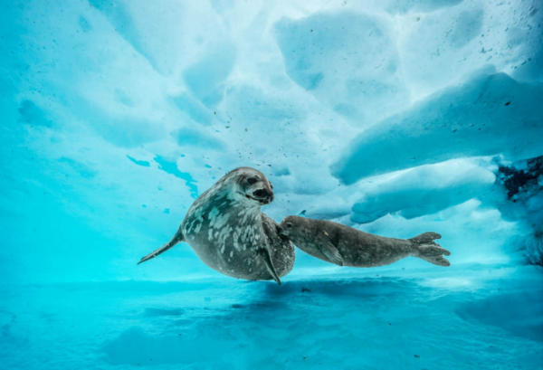 这只威德尔海豹陪伴她的幼兽在冰下游泳。当小海豹长大后,可以赶上母亲的体型:大约3米长,重达半吨。这些平静的海豹靠近海岸,通过浮冰上的孔洞呼吸冰面上的空气。( 网络图片)