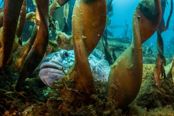 这条谨慎的银鱼躲在海带森林中。这些海底居民血液中含有抗冻蛋白,可以帮助他们抵御低温。在南极洲的寒冷水域,至少有50个银鱼物种。( 网络图片)