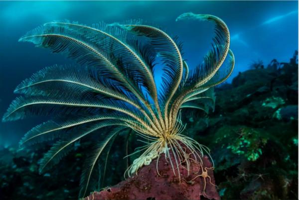 海冰下30多米的深度,这个毛头星正挥舞叶状的手臂,摸索食物颗粒。这是一种动物而非植物,它是海星的近亲,能够游泳。摄影师劳伦特·巴勒斯塔(Laurent Ballesta)潜入70多米深的地方,抓拍到这些惊人的照片。( 网络图片
