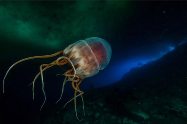 发光的王冠海蜇,它大约有35厘米宽,漂浮在近40米深的海水中,身体发光,后面拖着12条触须。这些钟形的浮游生物捕食者避免直接光线照射,因为那会杀死它们。( 网络图片)