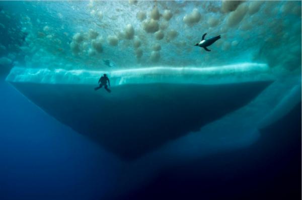 当这只帝企鹅在附近游泳时,潜水员注意到它。上面的褐色斑块是微藻,它们依附着海冰进行光合作用。( 网络图片)