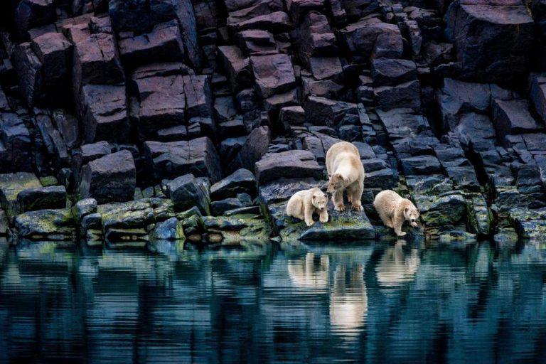 本来四处结冰,现在大部分变换为河,石头上也布满了茵茵绿苔,图为三只熊在溶化的海面觅食。(图片来源:美国国家地理)