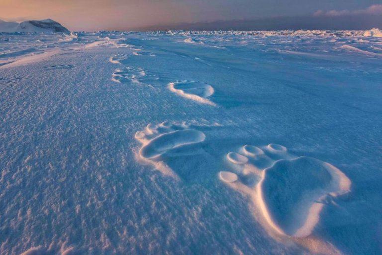 摄影师Paul Nicklen镜头下北极熊的痕迹,渐行渐远的爪印仿佛预示着冰川正在渐渐离人们远去。(图片来源:美国国家地理)