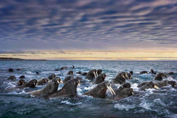 摄影师Paul Nicklen镜头下一群海狮集体向岸上游来。(图片来源:美国国家地理)