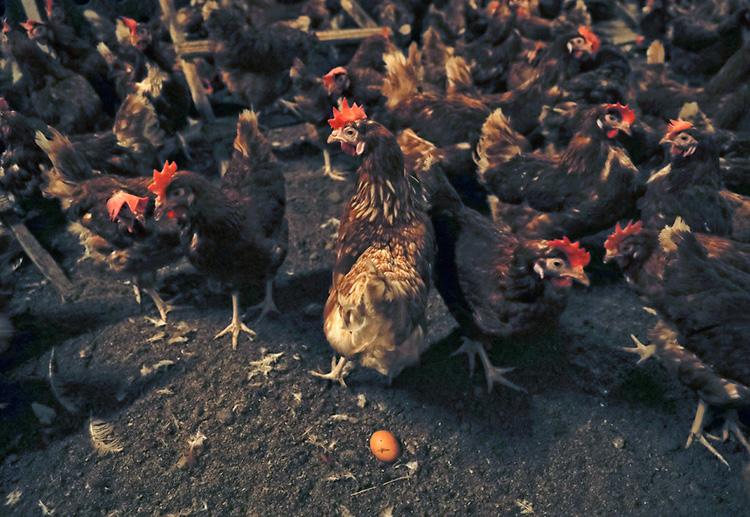 欧洲联盟周二表示,计划在下个月晚些时候召开一次特别会议,讨论越来越多的受污染的鸡蛋丑闻。(图片来源AP/ Vadim Ghirda)