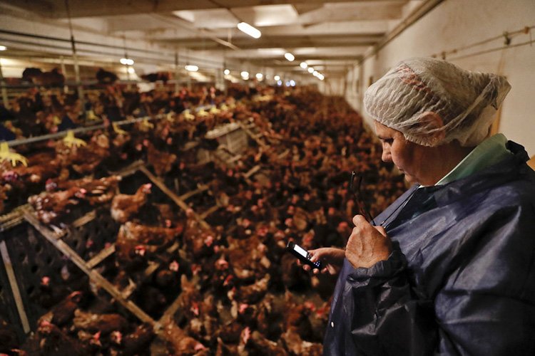 食品安全专家Aurora Alexandru在一家养鸡场检查她的电话。(图片来源AP/ Vadim Ghirda)