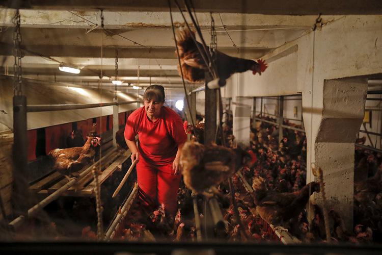 罗马尼亚南部加斯蒂斯的一个养鸡场。 (图片来源AP/ Vadim Ghirda)