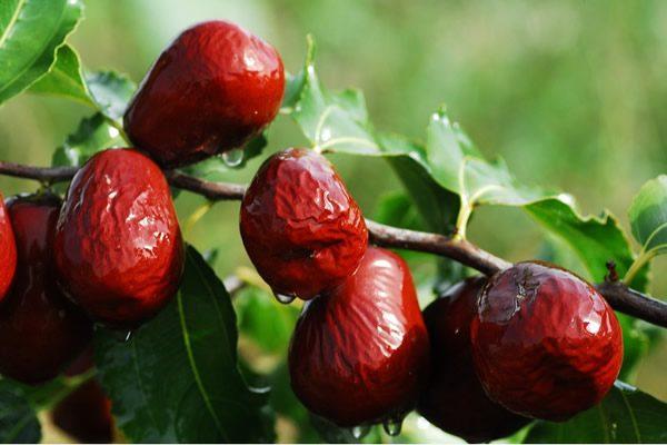 茶中加红枣有健脾补虚的作用。(Pixabay)