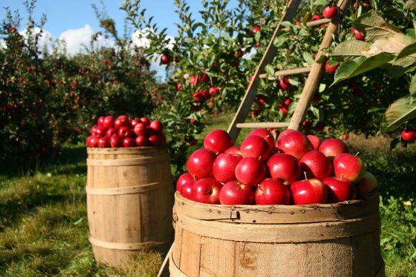晚餐吃苹果,消炎减肥(资料图片:pixabay)