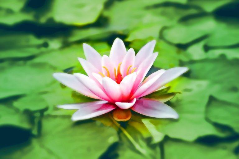 莲花(图片来源:pexels)