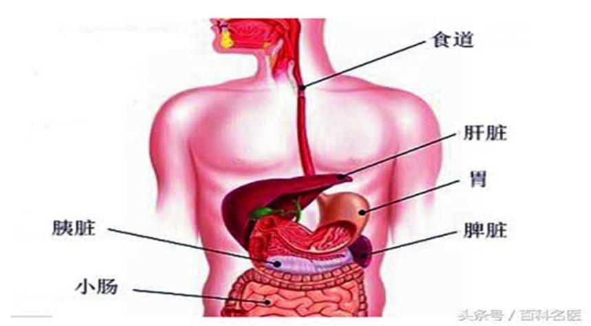 脾、胃(图片:网络)