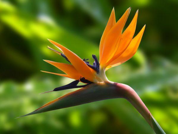 天堂鸟(pixabay)