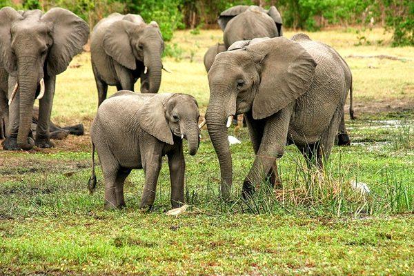 「小象葬礼」 哀伤送别同伴的象群感动网友 动物王国的最后道别