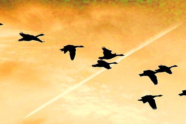 林甲还在谦让,见自己的身体已经变成大雁了,就与群雁一起翱翔。(图片: pixabay)