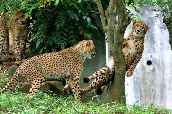 严重失算一脸呆萌 「 兄弟们 快来帮帮我!」 猎豹卡在树杈中好尴尬 到底发生了什么?