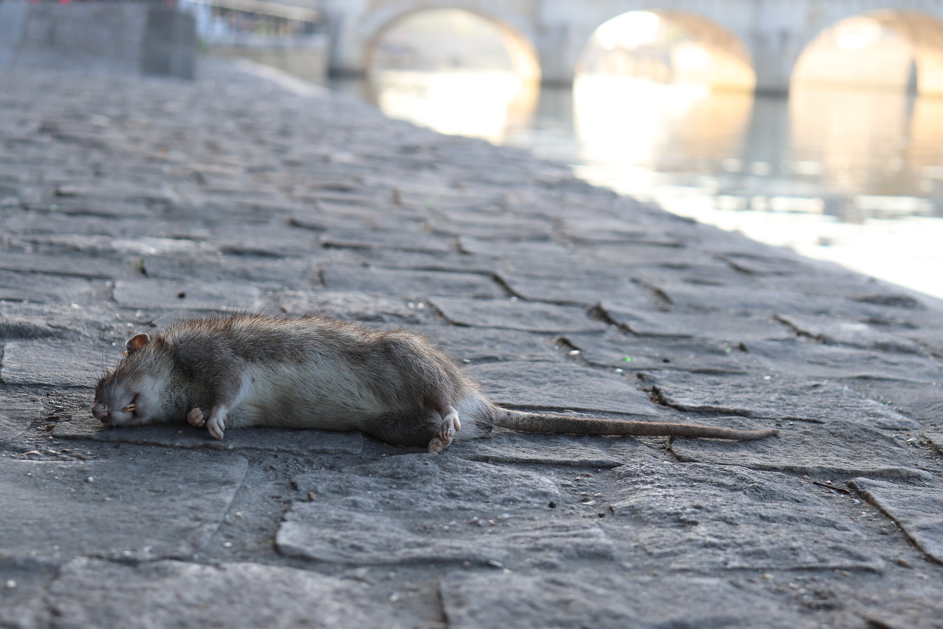 鼠疫杆菌:从跳蚤克星到杀人魔王……