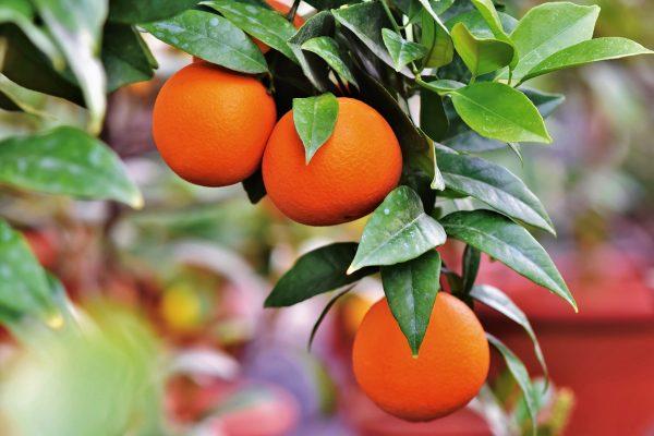橘子树(pixabay)