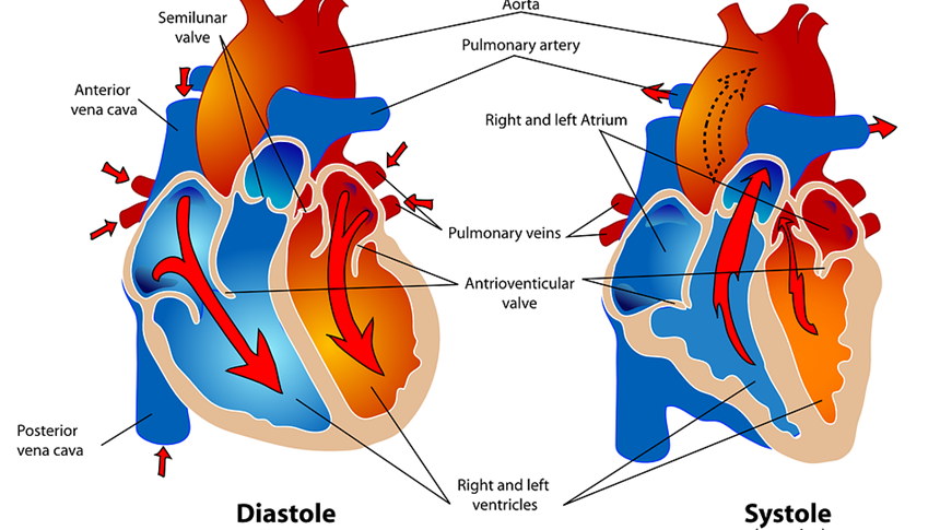 心脏、心血管  (图片: pixabay)