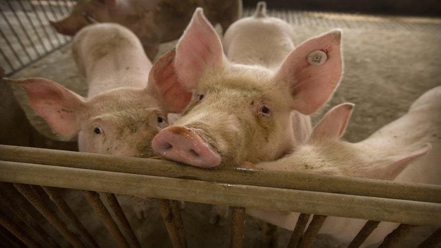 中国12月CPI维持8年高位 过年猪价可能再暴涨