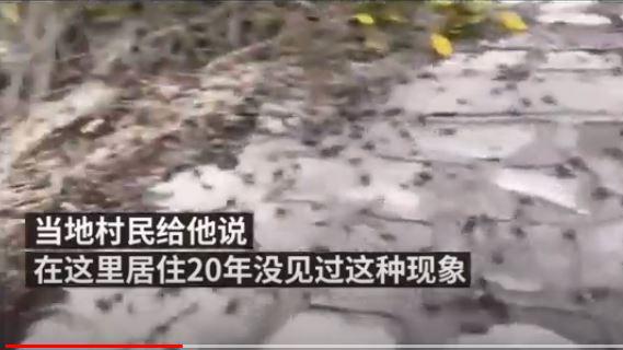 数以万计的长江小毛蟹爬到岸上,成群结队密密麻麻(视频截图)