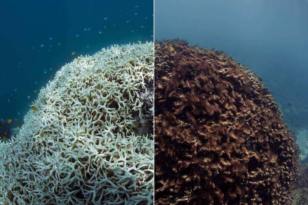 图为2016年,珊瑚礁白化(左)和死亡(右)的对比图。
