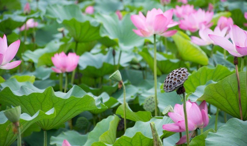 池塘蓮藕(pixabay)
