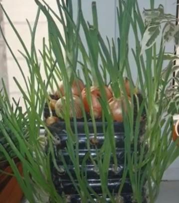 一个空油桶能种百棵大蒜!怎么做到的? (视频)